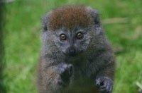 El Bioparc acogerá dos lémures de Madagascar para promover una especie en riesgo de extinción