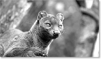 El Bioparc se convierte en el primer zoo español que recibe fossas de Madagascar