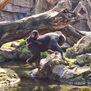 El bebé chimpancé COCO cumple 8 meses en BIOPARC Valencia