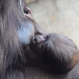 El bebé gorila nacido en BIOPARC Valencia cumple una semana y es macho