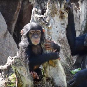 El bebé chimpancé COCO cumple 10 meses en BIOPARC Valencia